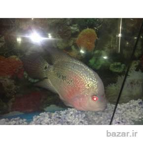 فروش فوالعاده ماهی فلاور هورن